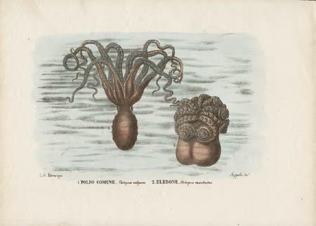 1. Polpo Comune -- Octopus vulgaris 2. Eledone -- Octopus moschatus