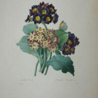 Oreilles d'Ours, Primula Auricula Var.