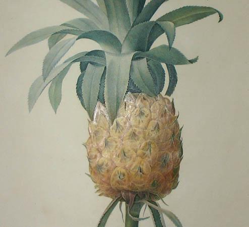 Bromelia Ananas, detail