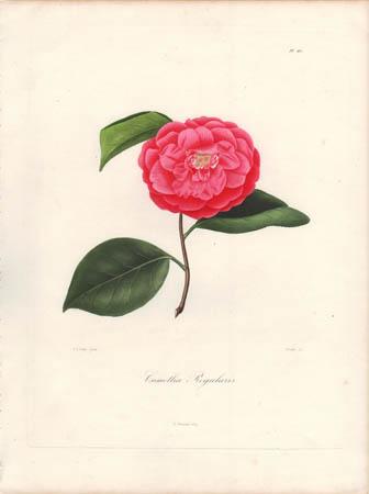 Camellia Regularis