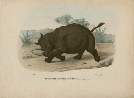 Rinoceronte D'Affrica Bicorne -- Rinoceros africanus