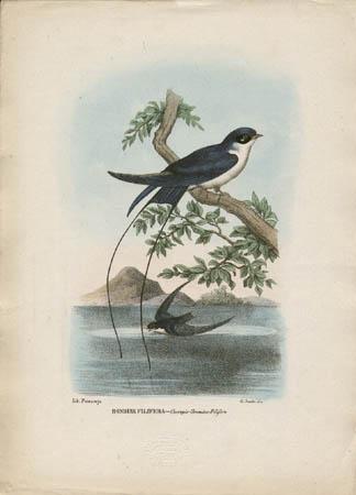 Rondine Filifera -- Cecropis-Uromitus-Filifera