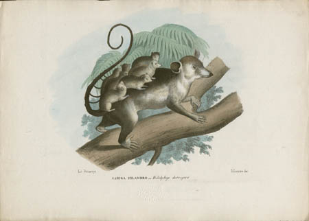 Sariga Filandro -- Didelphys dorsigera