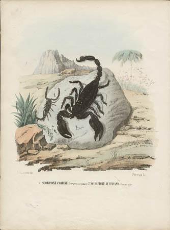 1. Scorpione Comune -- Scorpio europaeus, 2. Scorpione Africano -- Scorpio afer