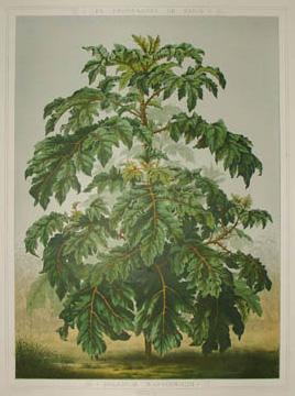 Solanum Warscewiczii