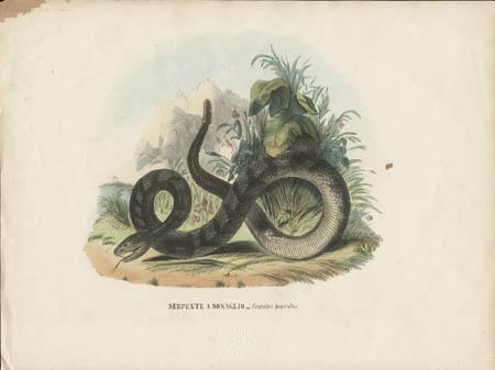 Serpente a Sonaglio -- Crotalus horridus