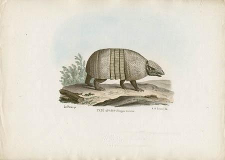 Tatù Apara -- Dasypus tricinctus