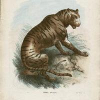 Tigre -- Felis Tigra