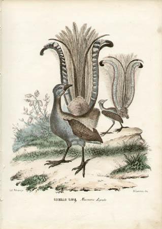 Uccello Lira -- Maenura Lyrata