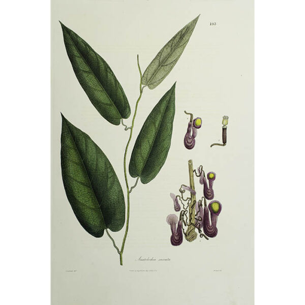 Plantae Asiaticae Rariores, Aristolochia saccata, Plate 103