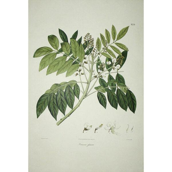 Plantae Asiaticae Rariores, Ormosia glauca, Plate 125