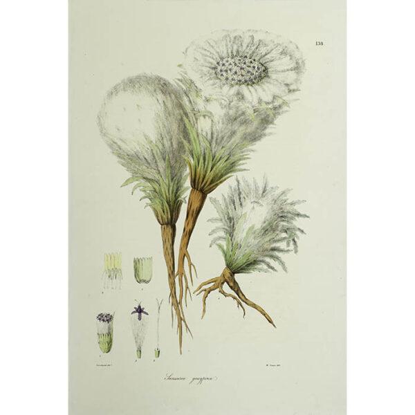 Plantae Asiaticae Rariores, Saussurea gossypina, Plate 138