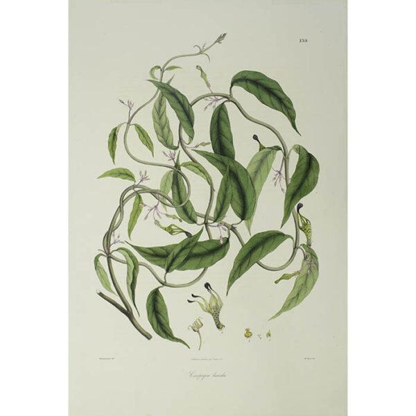Plantae Asiaticae Rariores, Ceropegia lucida, Plate 139