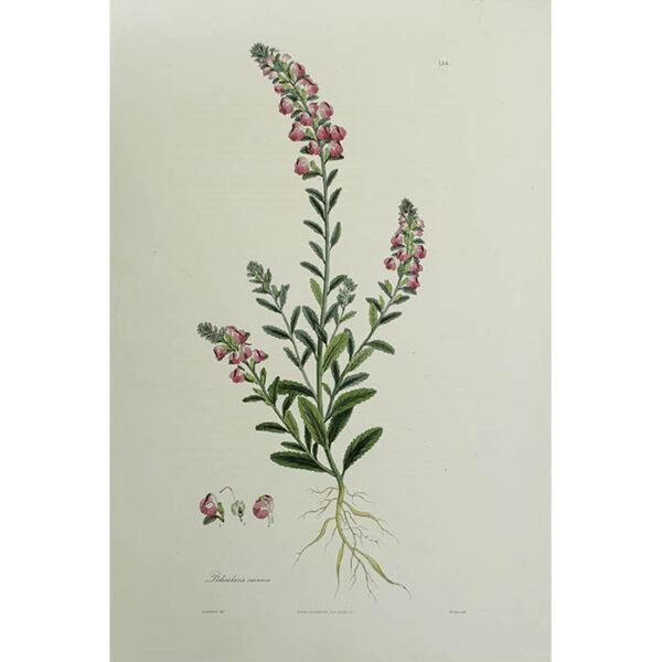 Plantae Asiaticae Rariores, Pedicularis carnosa, Plate 154