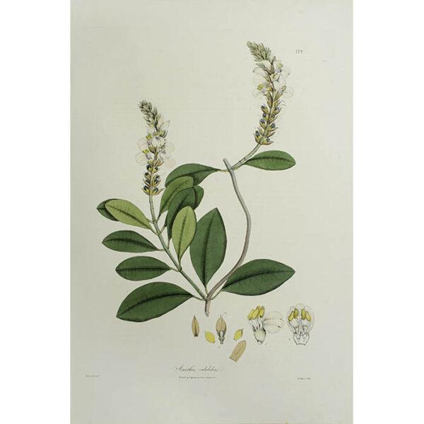 Plantae Asiaticae Rariores, Acanthus volubilis, Plate 172