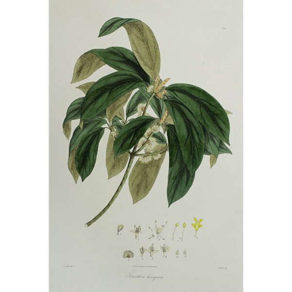 Plantae Asiaticae Rariores, Tetranthera lanuginosa, Plate 176