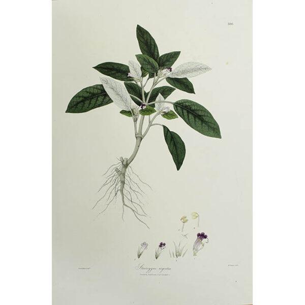 Plantae Asiaticae Rariores, Staurogyne argentea, Plate 186