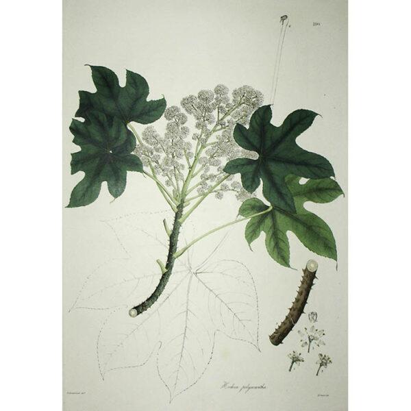 Plantae Asiaticae Rariores, Hedera polycantha, Plate 190.