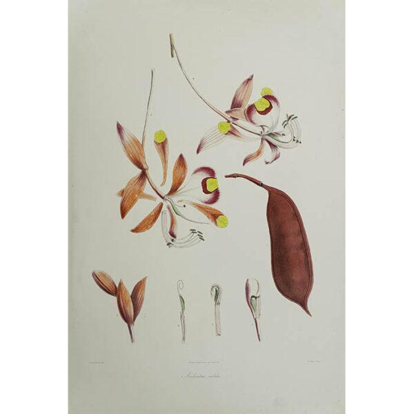 Plantae Asiaticae Rariores, Amherstia nobilis, Plate 2