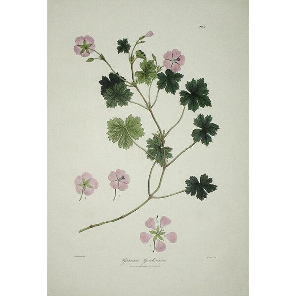 Plantae Asiaticae Rariores, Geranium Grevilleanum, Plate 209.