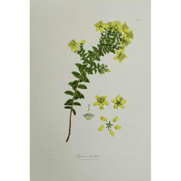 Plantae Asiaticae Rariores, Hypericum bracteatum