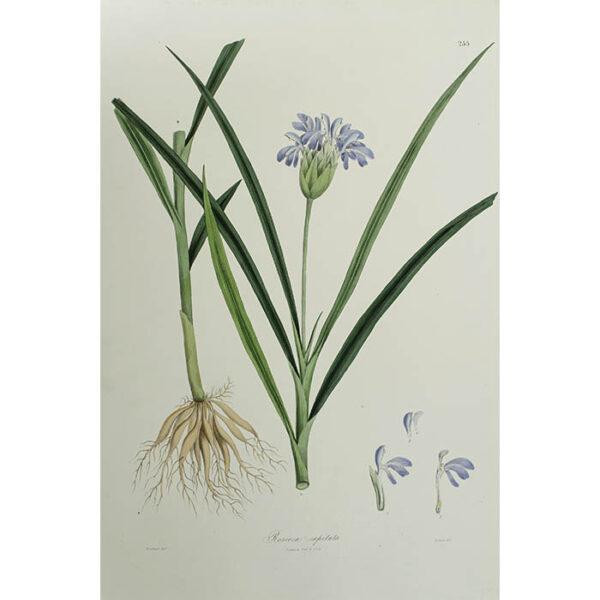 Plantae Asiaticae Rariores, Roscoea captitata