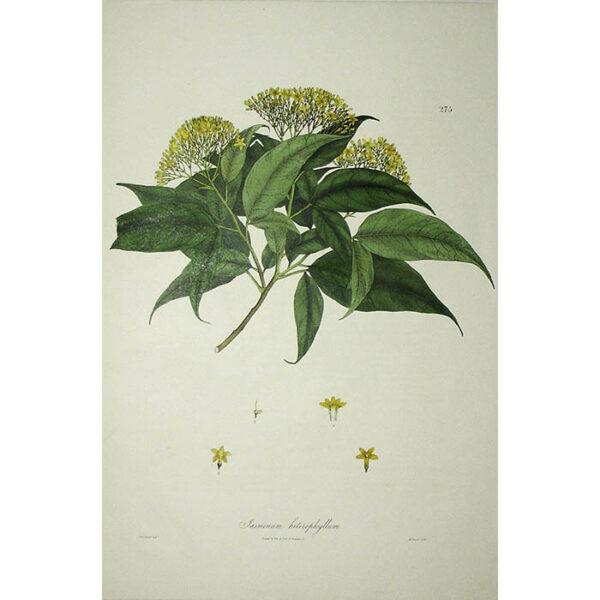 Plantae Asiaticae Rariores, Jasminum heterophyllum, Plate 275