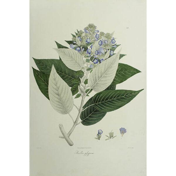 Plantae Asiaticae Rariores, Ruellia gofsypina, Plate 42