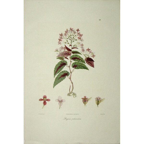 Plantae Asiaticae Rariores, Begonia pedunculosa, Plate 97