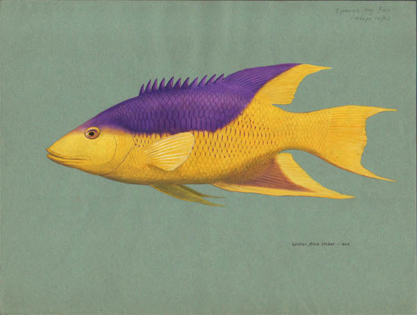 Spanish Hog Fish (Bodianus rufus)