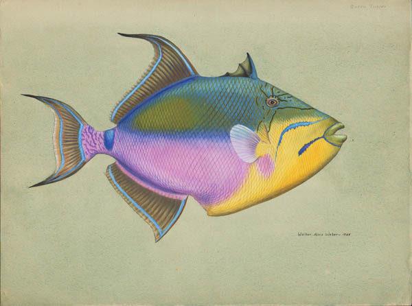 Queen Trigger Fish (Balistes vetula)