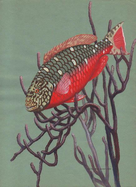 Redbelly Tilapia (Tilapia zillii)