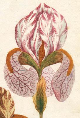 Johann Weinmann Botanical Prints