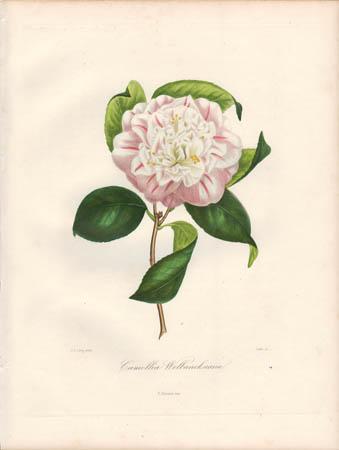 Camellia Welbancksiana