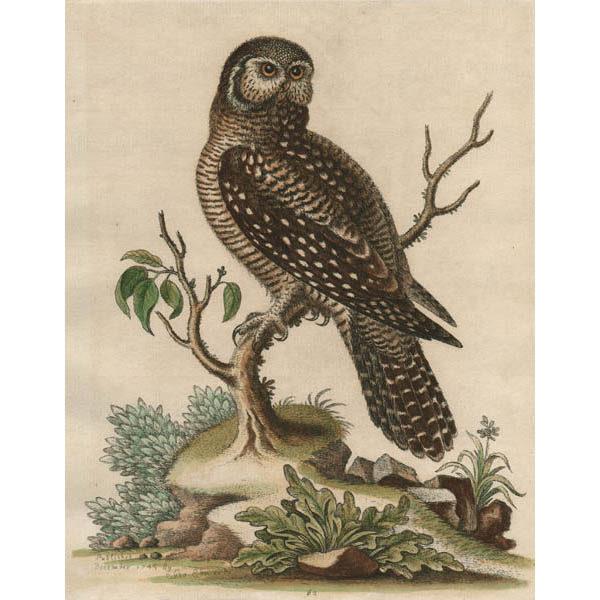 Little Hawk Owl, Plate 62
