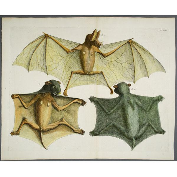 natural history art animals bats albertus seba antique print