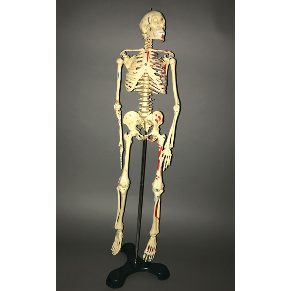 Science, Medical, Anatomy, Instrument, Miniature Skeleton, Anatomy ...