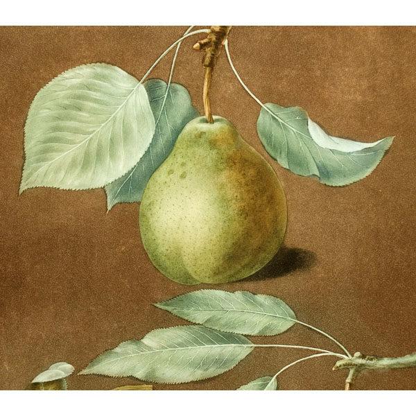 Brookshaw Pears Botanical Print Antique Detail