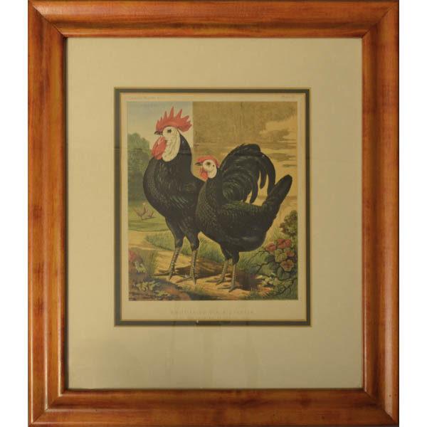 Cassell Prize Winning Poultry Framed Black Spanish