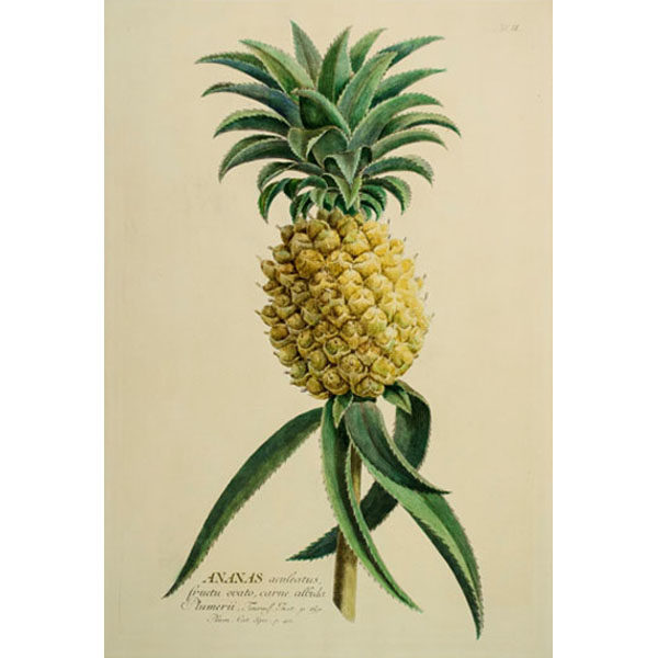 Ananas aculeatus fructu ovato, carne albida Plumerii, Tab. II [Pineapple]