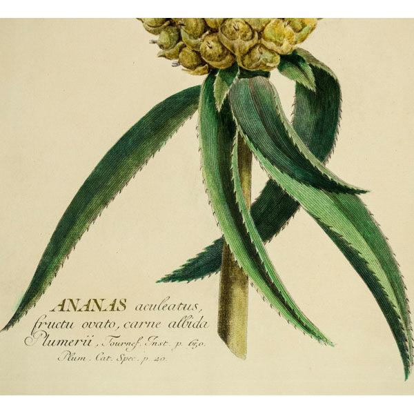 Ananas aculeatus fructu ovato, carne albida Plumerii, Tab. II [Pineapple], detail