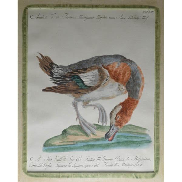 Marigiana Maschio [Eurasian Wigeon, Mareca penelope]