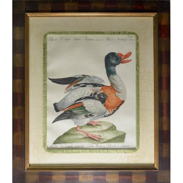 Manetti duck, framed. Volpoca d'a dagli Autori Tadorna