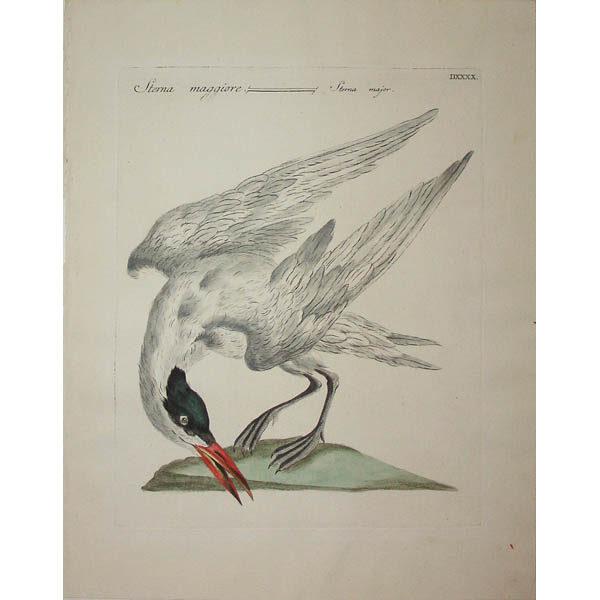 Sterna maggiore/ Sterna major [Common Tern, Sterna hirundo] Plate DXXXX