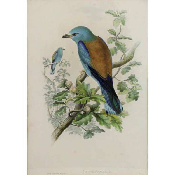 John Gould, Coracias Garrula, Linn. [Roller] from The Birds of Great Britain