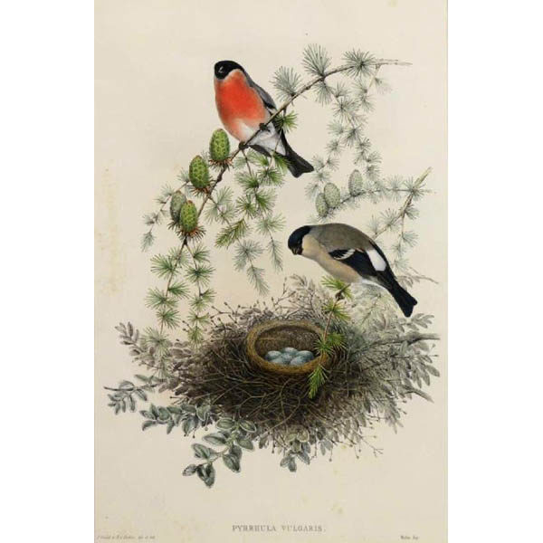John Gould, Pyrrhula Vulgaris [Bullfinch] from The Birds of Great Britain