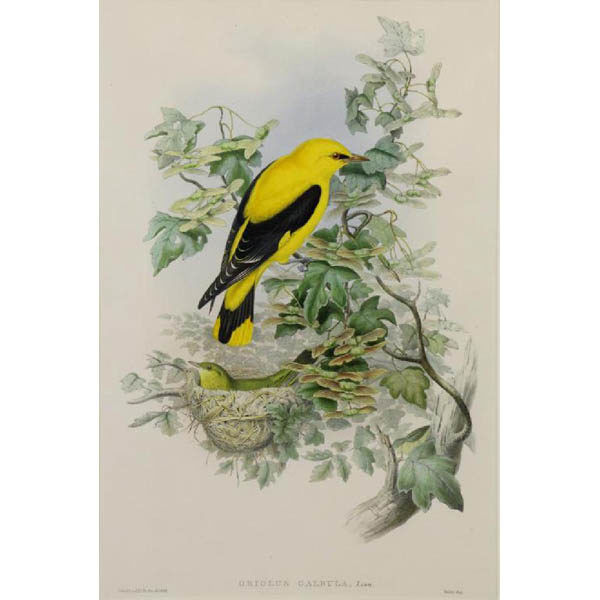 John Gould, Oriolus Galbula, Linn. [Golden Oriole] from The Birds of Great Britain