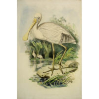 Platalea Flavipes (Yellow-legged Spoonbill) from Gould's Birds of Australia