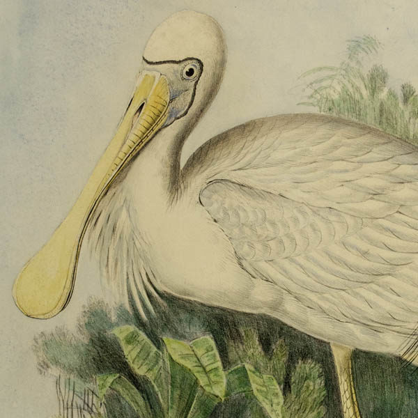 Platalea Flavipes (Yellow-legged Spoonbill) from Gould's Birds of Australia, detail