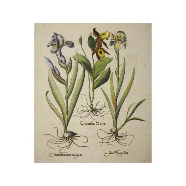 Calceolus Mariae [Iris]